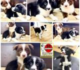 Border Collie (Exclusive Red Color) Puppies for Sale Call 81352277 now