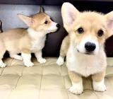 Corgi (British Red) Puppies for Sale Call 81352277 now