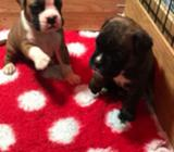 Quality Boxer Pups