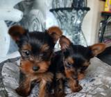 Very Pretty Yorkshire Terrier Puppies