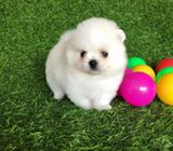 MINI WHITE POMERANIAN PUPPY AVAILABLE ($2000)