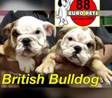 British Bulldog (Purebreed in London Brown) Puppies for Sale Call 81352277 now