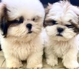 Shih Tzu (Purebreed) Puppies for Sale Call 81352277 now