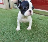 Adorable French Bulldogs for Sale