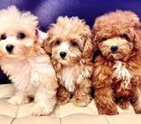 Toy Poodle Puppies for Sale Call 81352277 now