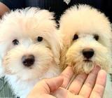 Maltipoo (Balloon Features) Puppies for Sale Call 81352277 now