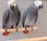 African Grey parrots with cage