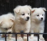 Pure breeds Japanese spitz puppies for good homes
