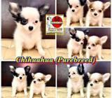 Chihuahua (Purebreed) Puppies for Sale Call 81352277