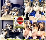 Beagle (Purebreed) Puppies for Sale Call 81352277 now