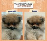 Sable & Orange Pom Puppies Sale.Tian Chai Petshop HP 88776368.TOP 560 FB Review