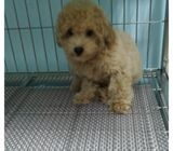 Toy Poodle Puppies Sale.Tian Chai Petshop HP 88776368.TOP 560 FB Review