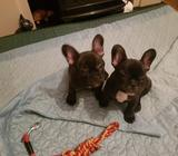 CUTE FRENCH BULLDOG PUPPIES FOR ADOPTION