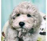 Brown Maltipoo Pups Sale Only.Whatsapp 88776368.Tian Chai Petshop TOP FB Reviews