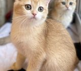 Golden British shorthair kitten