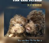 Chocolate Toy Poodle Puppies Sale.Tian Chai Petshop HP 88776368.TOP 560 FB Review