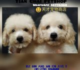 Cream Toy Poodle Puppies Sale.Tian Chai Petshop HP 88776368.TOP 560 FB Review