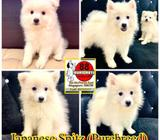 Japanese Spitz (Purebreed Snow White) Puppies for Sale Call 81352277