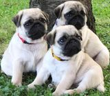 Pug (Purebreed) Perfect Features Puppies for Sale Call 81352277 now