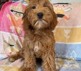 Cockapoo Puppies for adoption