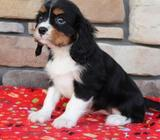 Available Cavalier King Charles Spaniel Pups For adoption
