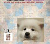Jap Spitz Puppies Sale.Tian Chai Petshop HP 88776368.TOP 560 FB Review