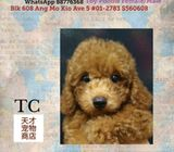 coloured Toy Poodle Puppies Sale.Tian Chai Petshop HP 88776368.TOP 560 FB Review