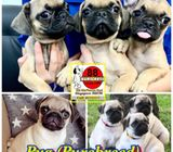 Pug (Purebreed Fawn) Puppies for Sale Call 81352277 now
