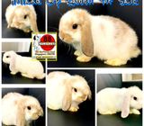 Holland Lop (Exclusive Continental Features) Rabbits for Sale Call 81352277