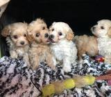 Beautiful F1 Maltipoo Pups