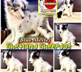 Shetland Sheepdog (Blue Merle) Puppies for Sale Call 81352277