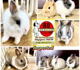 Imported Netherlands Dwarf Rabbits for Sale Call 81352277