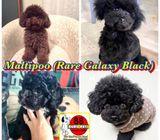 Maltipoo (Exclusive Galaxy Black) Puppies for Sale Call 81352277