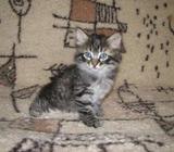 Hypoallergenic Siberians Kitten(kaiasanchez@outlook.com)