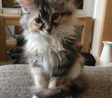 Adorable 12 weeks old Maine Cool kittens available
