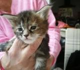Maine Coon Kittens Available Now