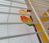 Male Lovebird (With Cage)