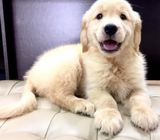 Golden Retriever (Australia Imported) Puppies for Sale Call 81352277