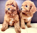 Toy Poodle (Purebreed) Puppies for Sale Call 81352277 now