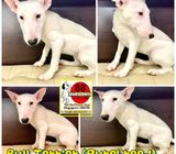Bull Terrier (Purebreed) Puppies for Sale Call 81352277
