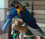 Gold And Blue Macaw Parrots Are Very Sociable And Intelligent