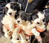 Border Collie Pups Ready to go