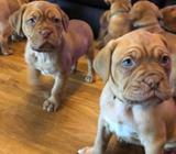 Registered Dogue De Bordeaux Puppies