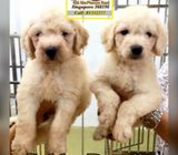 Goldendoodle (F1 Gen) Puppies for Sale Call 81352277