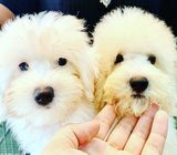 Bichon Poodle (Snow White) Puppies for Sale Call 81352277