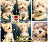 Yorkshire Terrier (Purebreed) Puppies for Sale Call 81352277