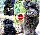 Maltipoo (Galaxy Black) Puppies for Sale Call 81352277