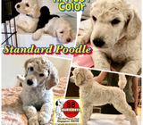 Giant Poodle (Purebreed) Puppies for Sale Call 81352277 now