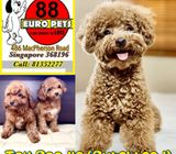 Toy Poodle (Purebreed) Puppies for Sale Call 81352277