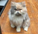 Exotic Flat Face Persian Dilute Calico
